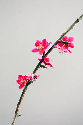 Photograph - Japanese Apricot by Gerry Bates