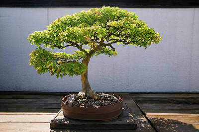Washington D.c. Photograph - Japanese Bonsai Tree In National by Panoramic Images