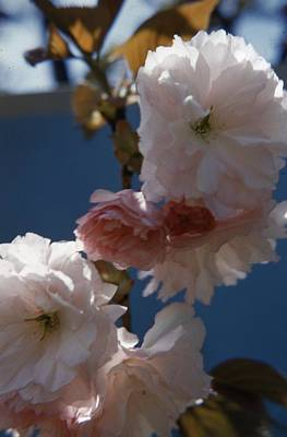 Cherry Blossoms Photograph - Japanese Cherry Blossom by Retro Images Archive