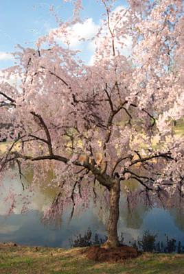 Cherry Blossoms Digital Art - Japanese Cherry Tree In Spring by Eva Kaufman