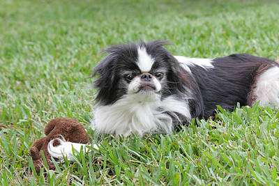 Japanese Chin Puppy Photograph - Japanese Chin - 1 by Rudy Umans