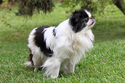 Japanese Chin Puppy Photograph - Japanese Chin - 2 by Rudy Umans