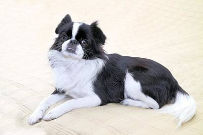 Japanese Chin Puppy Photograph - Japanese Chin - 5 by Rudy Umans