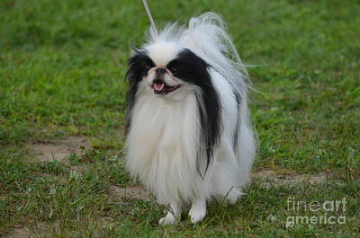 Japanese Chin Photograph - Japanese Chin Dog by DejaVu Designs