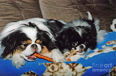 Japanese Chin Puppy Photograph - Japanese Chin Dogs Hanging Out by Jim Fitzpatrick