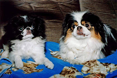 Japanese Chin Puppy Photograph - Japanese Chin Dogs Looking Guilty by Jim Fitzpatrick