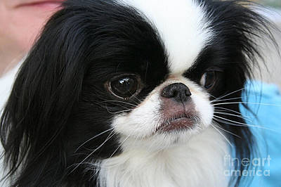 Dogs Mixed Media - Japanese Chin  by Marvin Blaine