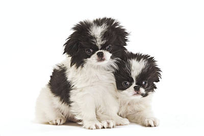 Japanese Chin Puppy Photograph - Japanese Chin Puppies by Jean-Michel Labat