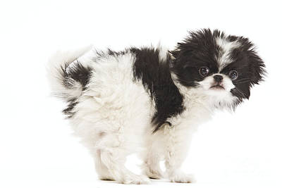 Japanese Chin Puppy Art Print