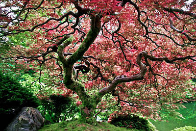 Photograph - Japanese Christmas Maple by Athena Mckinzie