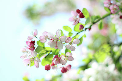 Botanical Photograph - Japanese Crabapple Blossom by Alyson Fennell Photography