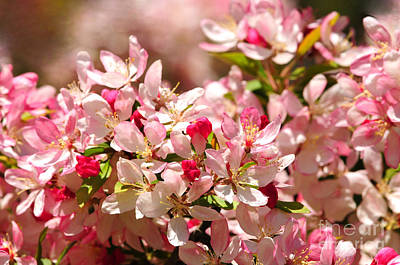Photograph - Japanese Flowering Crabapple Tree by Olivia Hardwicke