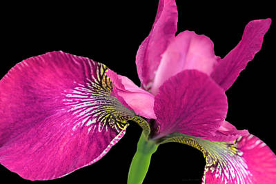 Photograph - Japanese Iris Hot Pink Black Four by Jennie Marie Schell