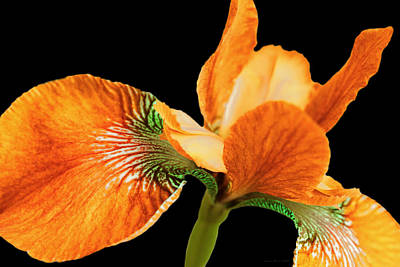 Gaugin Rights Managed Images - Japanese Iris Orange Black Four Royalty-Free Image by Jennie Marie Schell