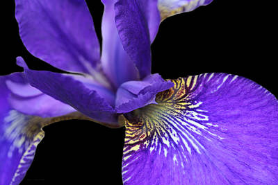 Photograph - Japanese Iris Purple Black Five by Jennie Marie Schell