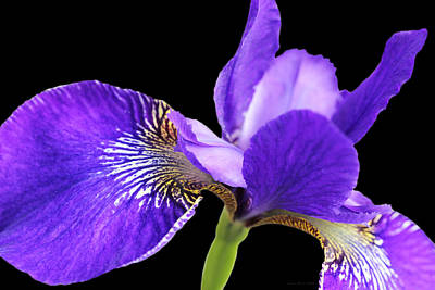 Photograph - Japanese Iris Purple Black Four by Jennie Marie Schell