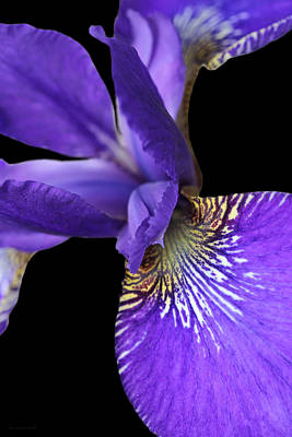 Photograph - Japanese Iris Purple Black Two by Jennie Marie Schell