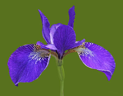 Photograph - Japanese Iris Purple Green Three by Jennie Marie Schell