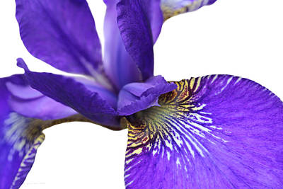 Photograph - Japanese Iris Purple White Five by Jennie Marie Schell