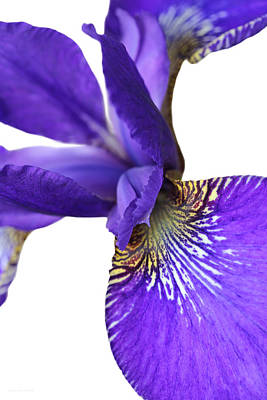 Photograph - Japanese Iris Purple White Two by Jennie Marie Schell