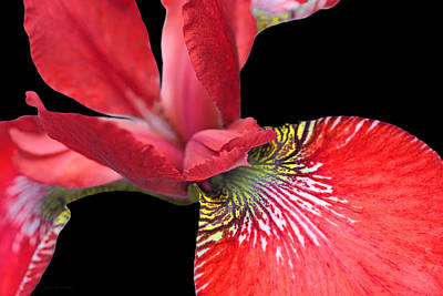 Photograph - Japanese Iris Red Black Five by Jennie Marie Schell