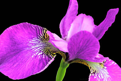 Photograph - Japanese Iris Violet Black Four by Jennie Marie Schell