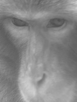 Photograph - Japanese Macaque Bw by Jeffrey Peterson