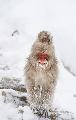 Japanese Macaque Carrying Young Print by Dr P. Marazzi