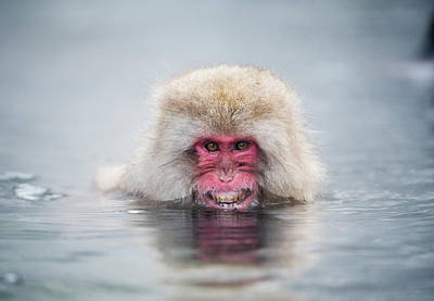 Japanese Macaque In A Hot Spring Art Print