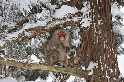 Japanese Macaque In Tree Jigokudani Art Print