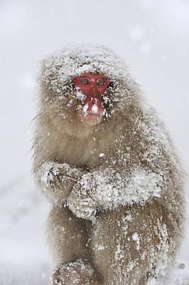 Japanese Macaque In Winter Jigokudani Art Print