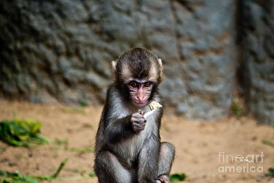 Photograph - Japanese Macaque Monkey by Ms Judi