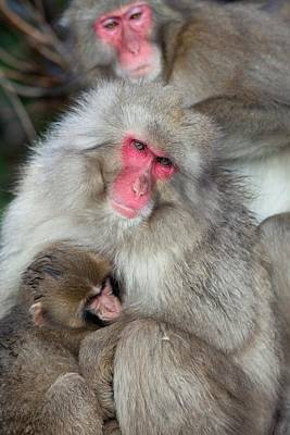 Hierarchy Photograph - Japanese Macaque Monkey Suckling Baby by Paul D Stewart