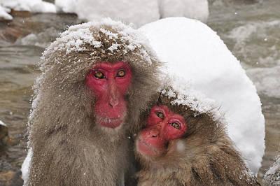 Japanese Macaque Pair Jigokudani Nagano Art Print