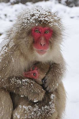 Japanese Macaque Warming Baby Art Print by Thomas Marent