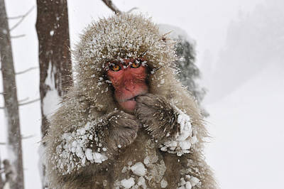 Photograph - Japanese Macaque Young Jigokudani by Thomas Marent