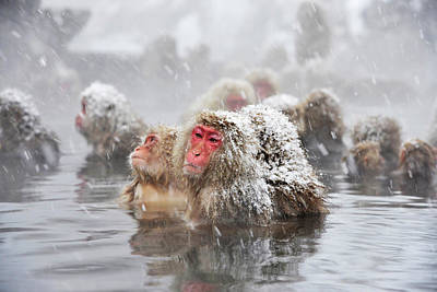 Japanese Macaques In A Hot Spring Art Print
