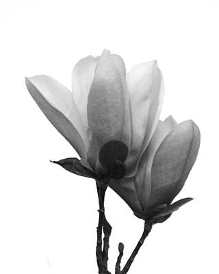 Photograph - Japanese Magnolias by Mary Hershberger