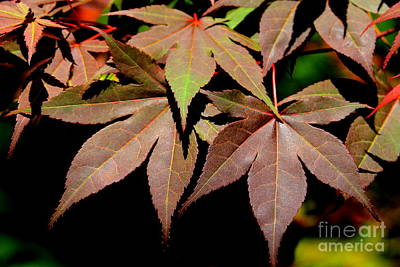 Chinese Red Maple Tree Photograph - Japanese Maple 7 by Reid Callaway