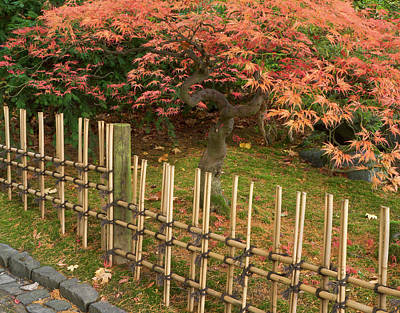 Bamboo Fence Photograph - Japanese Maple, Acer Palmatum, In Fall by William Sutton