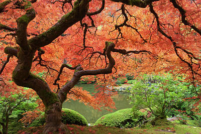 Acer Palmatum Photograph - Japanese Maple (acer Palmatum by William Sutton