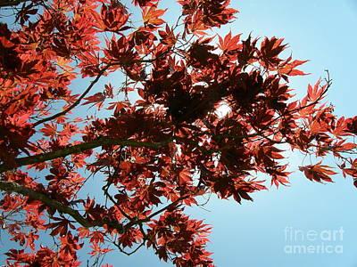 Beastie Boys - Japanese Maple Against Blue Sky by Bev Conover
