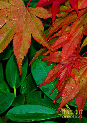 Photograph - Japanese Maple And Rhoddie by Chuck Flewelling
