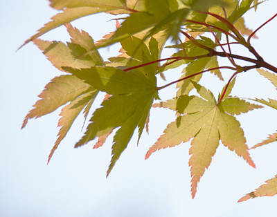 Photograph - Japanese Maple by Angie Vogel