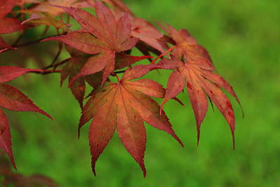 Photograph - Japanese Maple Autumn Colors by Reid Callaway
