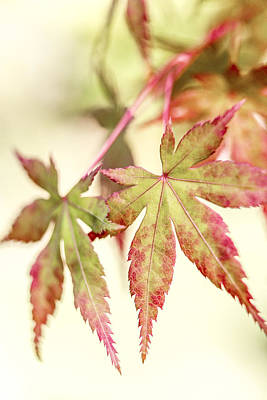 Photograph - Japanese Maple by Caitlyn  Grasso