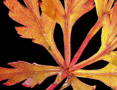 Photograph - Japanese Maple Close Up by Jean Noren