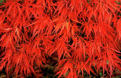 Japanese Maple 'dissectum Nigrum' Art Print by Andrew Ackerley/science Photo Library