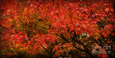 Photograph - Japanese Maple In Autumn by Miriam Danar