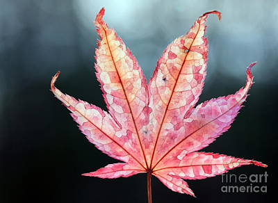 Art Print featuring the photograph Japanese Maple Leaf - 1 by Kenny Glotfelty